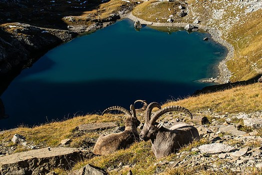 The-Cretan-Mountain-goat