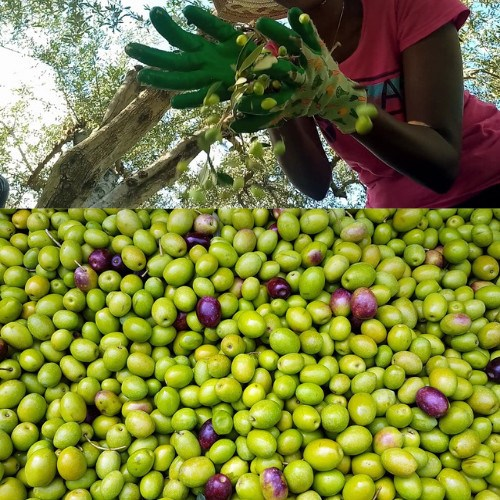olive-harvesting-season-in-Crete