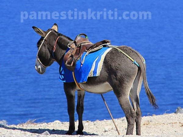 Working Donkeys In Crete Story Of Odysseus And His Donkey